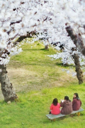 In the tsunami affected area of Ishinomaki, the blooming cherry blossoms have become a symbol of hope and recovery.