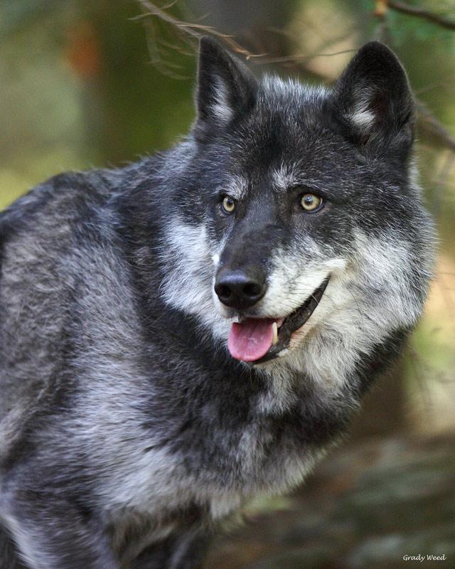 """Tazlina """"Taz"""", a pure gray wolf"""
