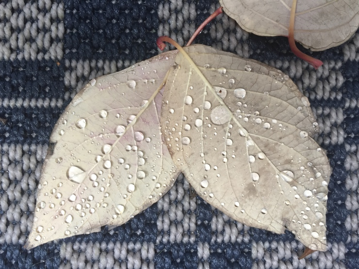 rain on a pair of leaves