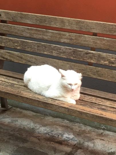 mediterranean cat