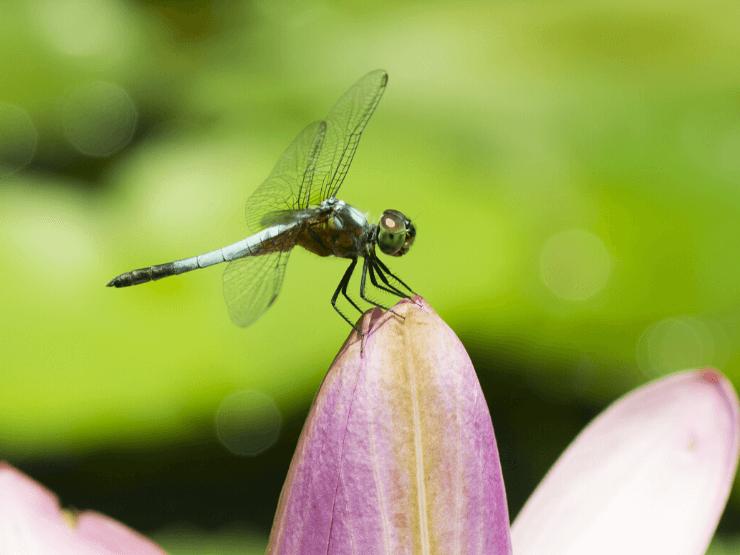 symbolism mating dragonflies